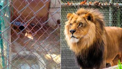 Photo of Empleado de zoológico olvida cerrar recinto y lo mata el león