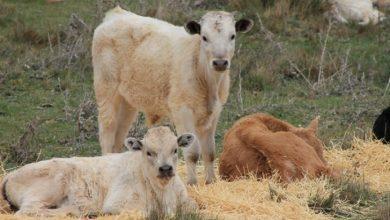Photo of Agricultura presenta primeros terneros de nacidos en RD mediante fertilización in vitro