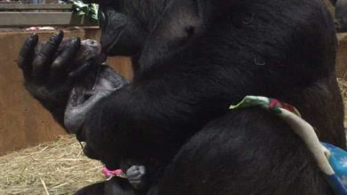 Photo of Video chulo: Gorila besa a su recién nacido