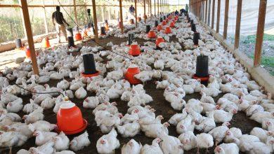 Photo of Se disparan precios de la carne de pollo por baja producción