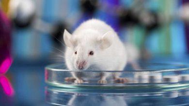 Photo of Hallada pieza clave para tratar el cáncer de páncreas en ratones