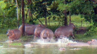 Photo of Los 60 hipopótamos de Pablo Escobar ponen en jaque a Colombia