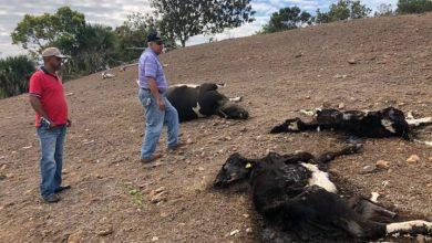 Photo of Ganaderos pierden RD$47.6 millones por muerte de 1,190 reses ante sequía