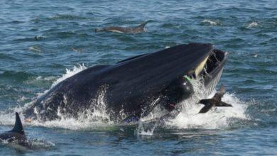Photo of Una ballena se traga a un buzo en Sudáfrica que se salva milagrosamente