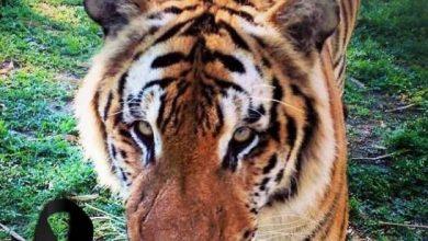 Photo of Muere el tigre de bengala «Silver» en el Parque Zoológico Nacional