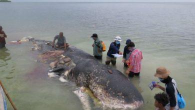 Photo of Hallan 40 kilos de plástico dentro de una ballena muerta