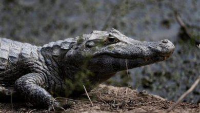 Photo of Tirar drogas en retrete puede crear «caimanes adictos», dice Policía de EEUU