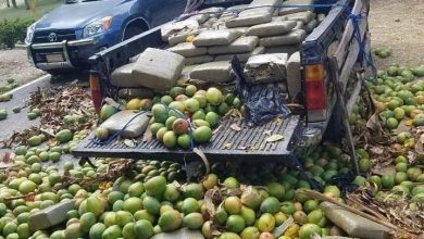 Photo of Incautan más de 700 libras de presunta marihuana oculta entre mangos