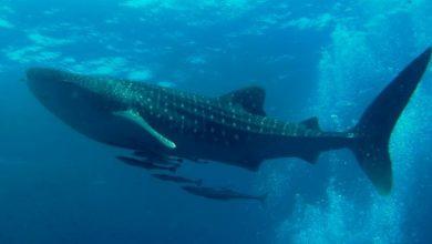 Photo of Un amistoso tiburón ballena sigue una lancha de pescadores dominicanos