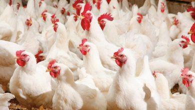 Photo of Virus Newcastle afecta a las aves ; no existe riesgo para humanos al consumir pollo o huevo