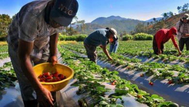 Photo of Producción de vegetales a punto de perderse en el Naranjal por crisis de coronavirus