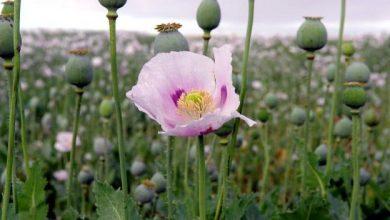 Photo of El consumo habitual de opio aumenta el riesgo de cáncer, dice agencia de OMS