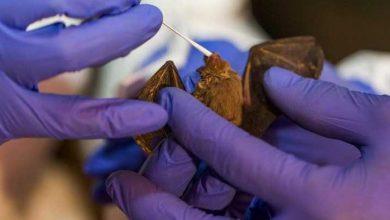 Photo of Descubren nuevos coronavirus en murciélagos