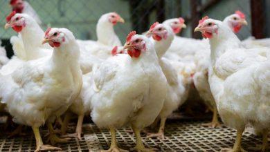 Photo of Gobierno comprará 350,000 pollos adicionales a los avicultores
