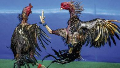 Photo of Detienen 25 jugadores de gallos por violación de medidas contra el coronavirus