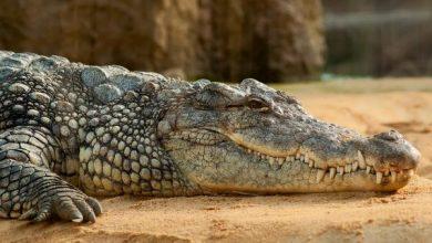 Photo of Buscan en río de España un cocodrilo de 250 kilos