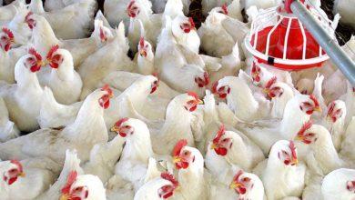 Photo of Libra de pollo se vende a RD$70.00 y la gente comienza a preocuparse