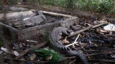 Photo of Allanan propiedad de expelotero José Rijo y rescatan tres cocodrilos