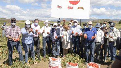 Photo of Producción de tomate de este año beneficiará más de 40 mil personas