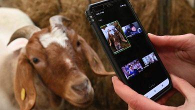 Photo of Alquilar cabras para amenizar videollamadas, la original salvación de una granja británica