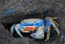 Photo of Desde el 1ero de marzo hasta el 30 de junio habrá veda de cangrejo en el país