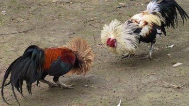 Photo of Denuncian pelea clandestina de gallos en comunidades y fincas de Azua