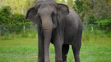 Photo of Llegan elefantes «jubilados» de circos a su nueva reserva natural en Florida