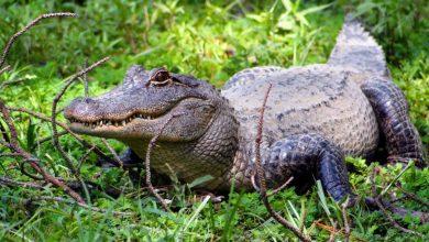 Photo of Hallan en Florida cadáver de mujer que pudo ser atacada por un caimán